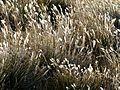 Grasses 01 - Copie (2) (3445589130).jpg