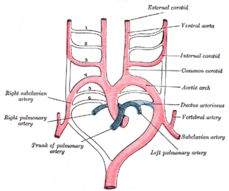 Aortic arches - Scheme of the aortic arches and their destination.