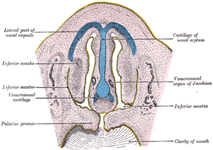 Vomeronasal organ - Frontal section of nasal cavities of a human embryo 28 mm. long (Vomeronasal organ of Jacobson labeled at right)