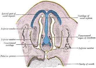 Vomeronasal organ - Frontal section of nasal cavities of a human embryo 28 mm. long (Vomeronasal organ of Jacobson labeled at right)