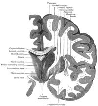 Coronal section of brain through intermediate mass of third ventricle.
