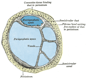 Perilymph - Cross-section of semi-circular canal and duct showing perilymphatic space