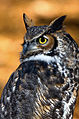 Great-horned-owl-15b.jpg