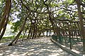 Great Banyan Tree (14660686339).jpg