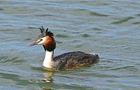 Great Crested Grebe (Podiceps cristatus) (26735133762).jpg