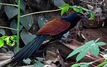Greater Coucal ( Chempoth-ml) 1.jpg