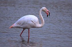 Greater Flamingo, Phoenicopterus roseus at Rondebult Nature Reserve, Gauteng, South Africa - August (7839814450).jpg
