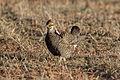Greater Prairie Chicken (Tympanuchus cupido) (20357805511).jpg