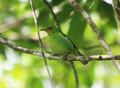 Green-honeycreeper.png