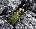 Green Bug (4508009382).jpg