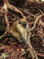 Green Monkey in Barbados 01.jpg