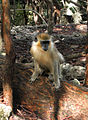 Green Monkey in Barbados 02.jpg