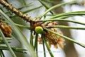 Green Orb Spider, Araniella cucurbitina (10561150695).jpg