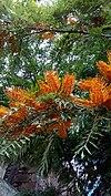 Grevillea robusta - Γρεβιλλέα η ισχυρή.jpg