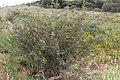 Grewia flava-2467 - Flickr - Ragnhild & Neil Crawford.jpg