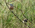Grey-headed Silverbills.jpg