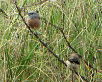 Grey-headed Silverbills