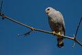 Grey-lined hawk (Buteo nitidus).jpg