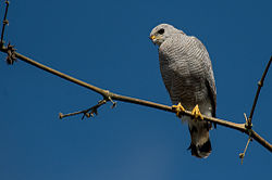 Grey-lined hawk (Buteo nitidus).jpg