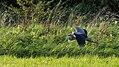Grey Heron in flight (36976263962).jpg