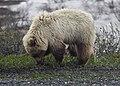 Grizzly (001a2e05-54b5-46f6-b768-78545d2062e1).jpg