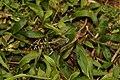 Ground skimmer(Diplacodes trivialis) 5286.jpg