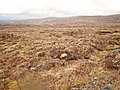 Grouse Moor on Carn Mhic Iamhair - geograph.org.uk - 1281832.jpg