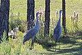 Grus canadensis (Sandhill Crane) 02.jpg