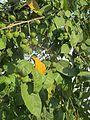 Guazuma ulmifolia (25042641476).jpg
