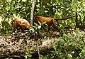 Guyanan red howler 4.jpg