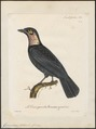 Gymnoderus foetidus - 1825-1834 - Print - Iconographia Zoologica - Special Collections University of Amsterdam - UBA01 IZ16600133.tif