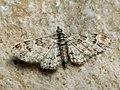 Gymnoscelis rufifasciata - Double-striped pug (27080330648).jpg