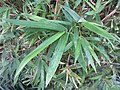 HK 灣仔 Wan Chai 修頓球場 Southorn Playground plant October 2017 IX1 green palm compound leaves 竹子 Bambusa 01.jpg