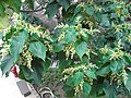 HK Ap Lei Chau Wind Tower Park 鴨脷洲風之谷公園 tree 血桐 Macaranga tanarius leaves April-2012.JPG