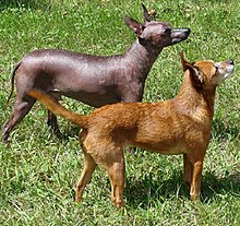 Hairless And Coated Xoloitzquintles