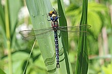 Hairy dragonfly (Brachytron pratense) male eating bee.jpg