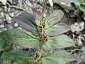 Hairy spurge (Euphorbia hirta) 1.jpg