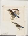 Halcyon fuscicapilla - - Print - Iconographia Zoologica - Special Collections University of Amsterdam - UBA01 IZ16800055.tif