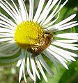 Halictus scabiosae - Flickr - gailhampshire (3).jpg