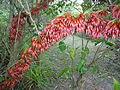 Halleria lucida, blomme, Iphithi NR, f.jpg