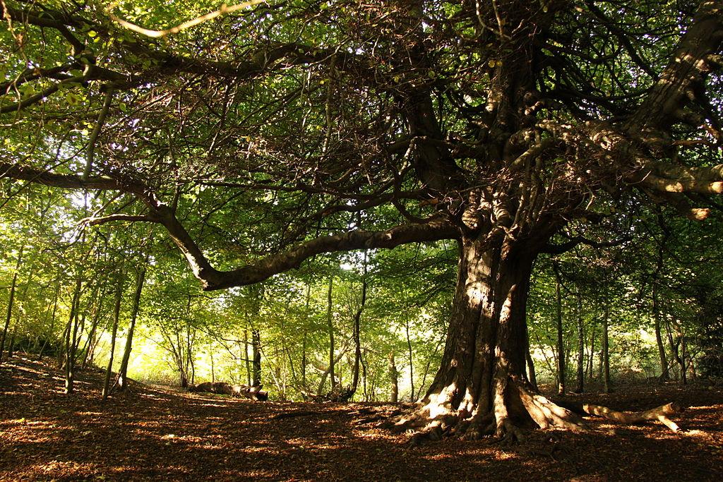 Grand et bel arbre dans le parc de Hampstead Heath à Londres - Photo de Cristian Bortes
