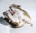 Hamster fight.jpg