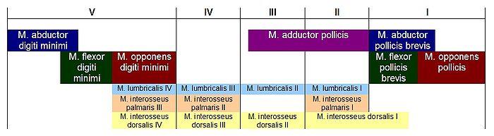 Topographische Anatomie: Obere Extremität: Hand – Wikibooks ...
