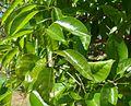 Handroanthus serratifolius leaves.jpg
