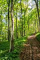 Hangwald aus Buchen im Naturschutzgebiet 'Alter Gleisberg' bei Jena.jpg