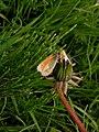 Harderbos - Hooibeestje (Coenonympha pamphilus) v2.jpg