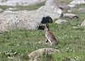 Hare (Lepus timidus).jpg