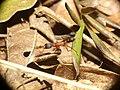 Harpegnathos saltator prey wide.jpg