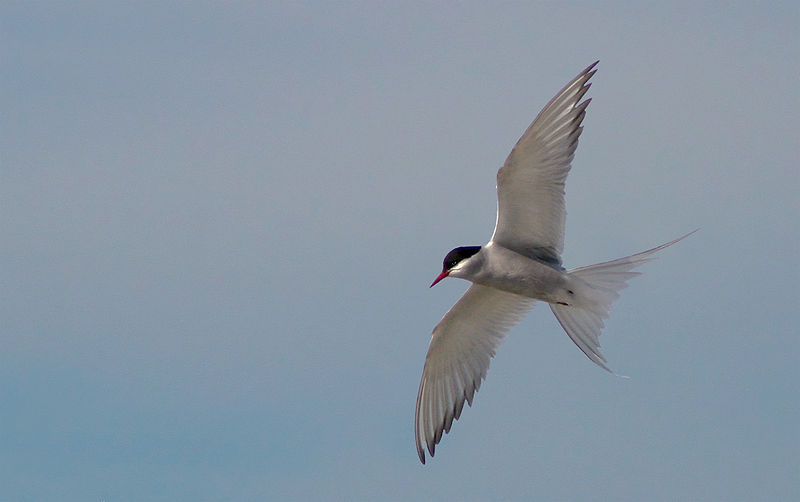 Arctic tern in flight. This small sea bird flies from the Arctic to Antarctica and back again every year, to take advantage of the polar summers By Mylen Tharssen