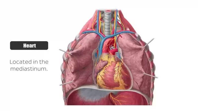 Fileheart Anatomy Posteroinferior View Preview Human Anatomy